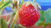 featured - strawberry